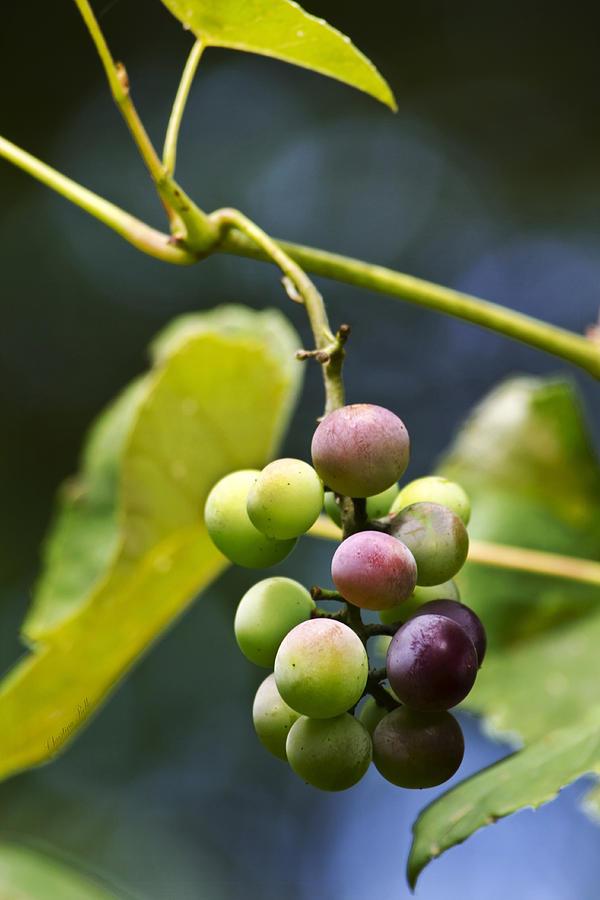 Grape Photograph - Grapes On The Vine by Christina Rollo