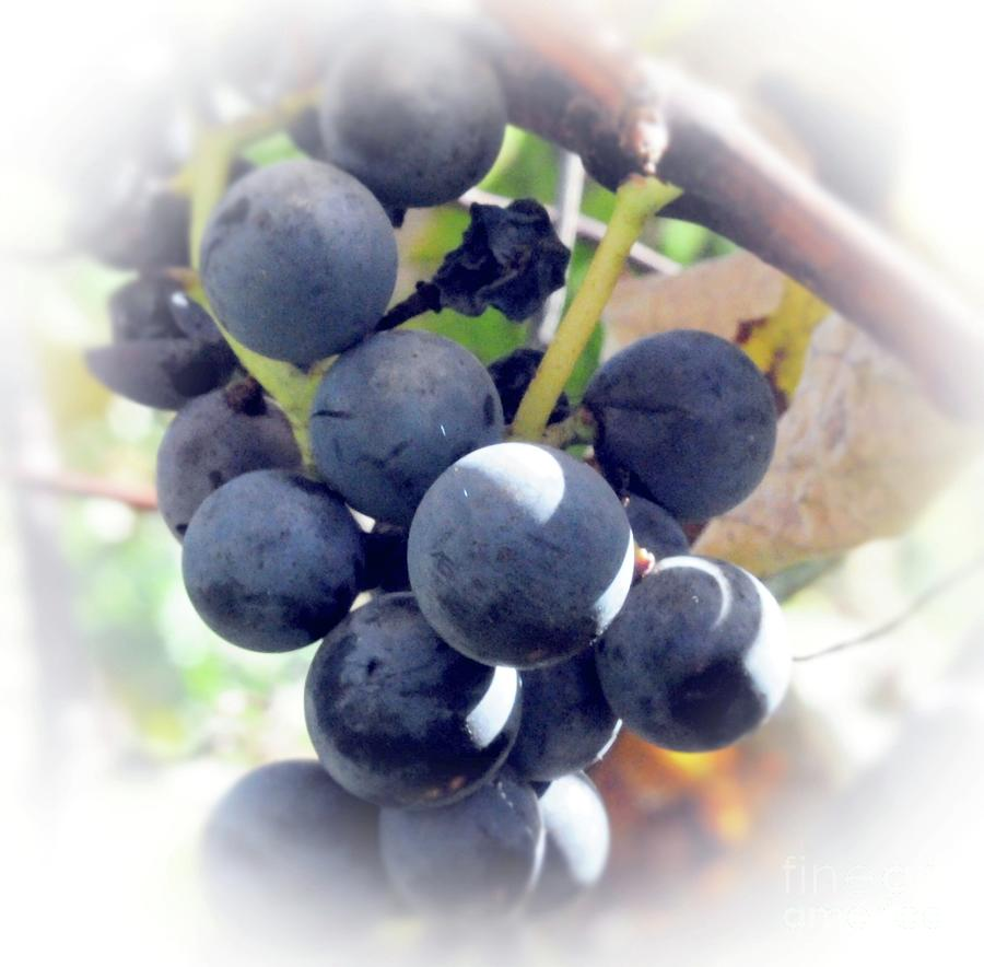 Grapes Photograph - Grapes On The Vine by Kathleen Struckle