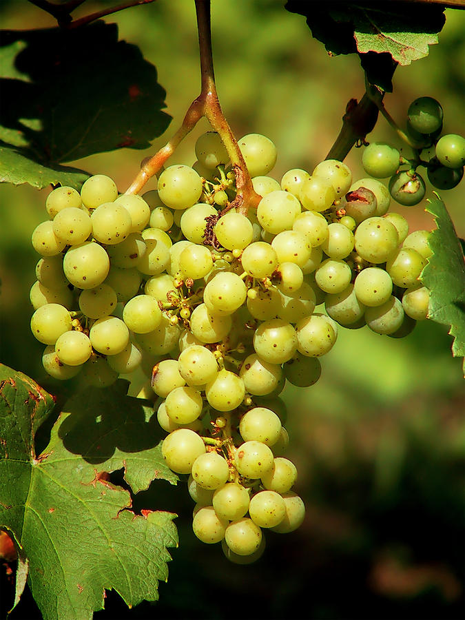 Grapes Photograph - Grapes - Yummy And Healthy by Christine Till