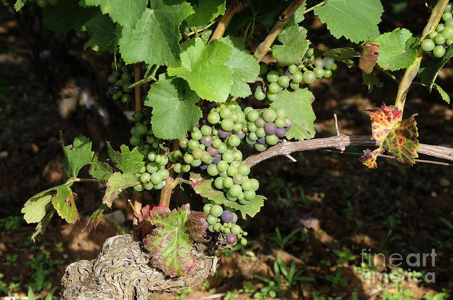 Common  Photograph - Grapevine. Burgundy. France. Europe by Bernard Jaubert