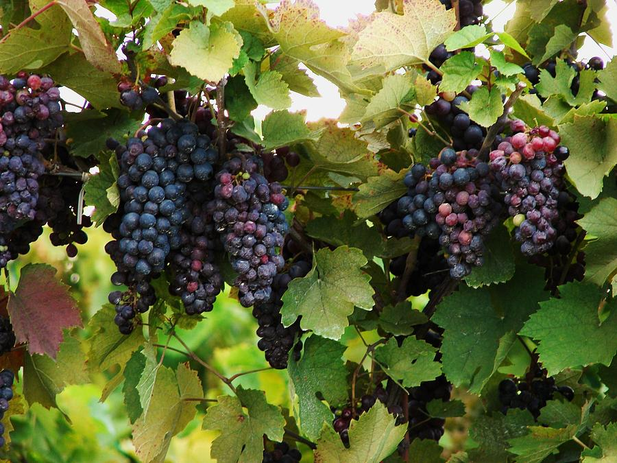 Grapes Photograph - Grapevines #2 by Mia Capretta