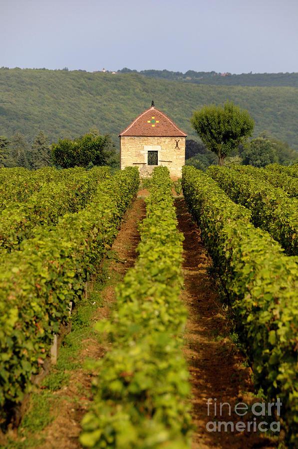 Architectures Photograph - Grapevines. Premier Cru Vineyard Between Pernand Vergelesses And Savigny Les Beaune. Burgundy. Franc by Bernard Jaubert