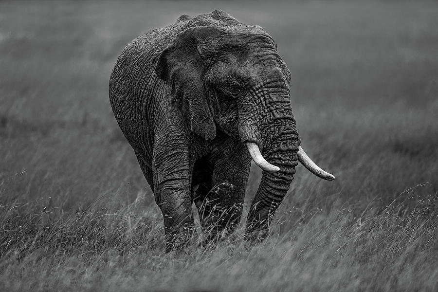 Majestic Photograph - Graphite by Massimo Mei