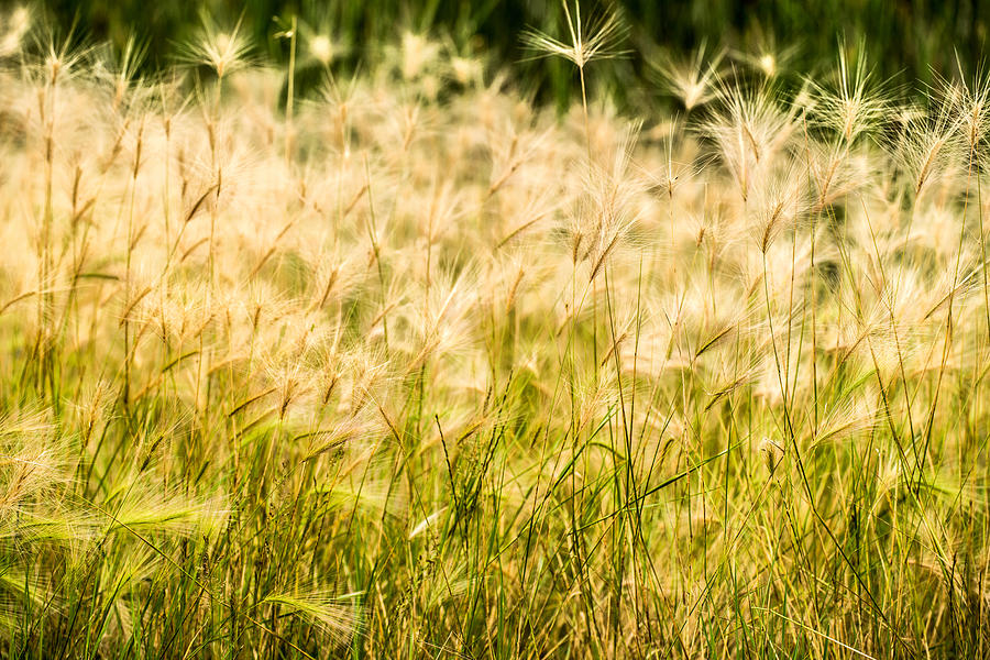 Grasses Photograph - Grass Feathers by  Onyonet  Photo Studios