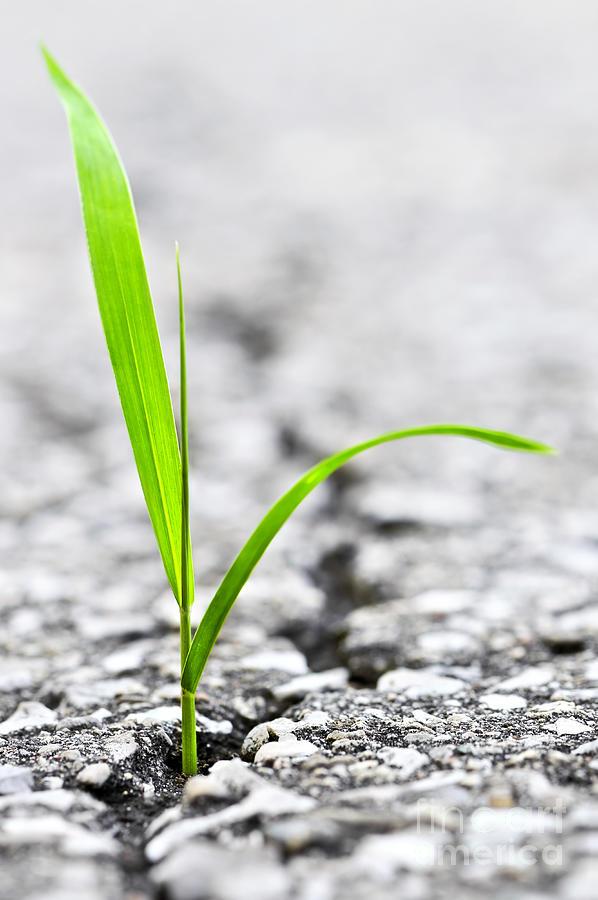 Grass Photograph - Grass In Asphalt by Elena Elisseeva