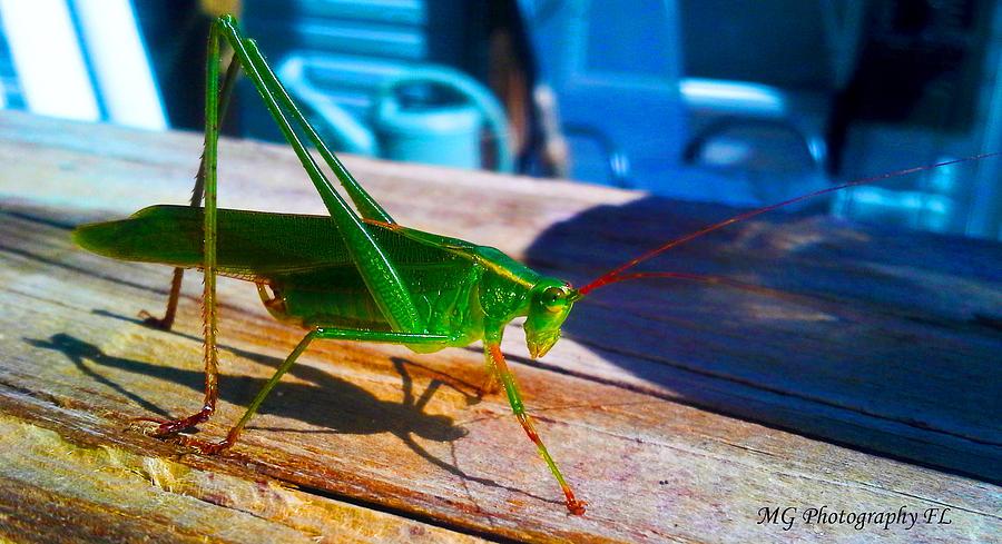 Cricket Photograph - Grass Hopper by Marty Gayler