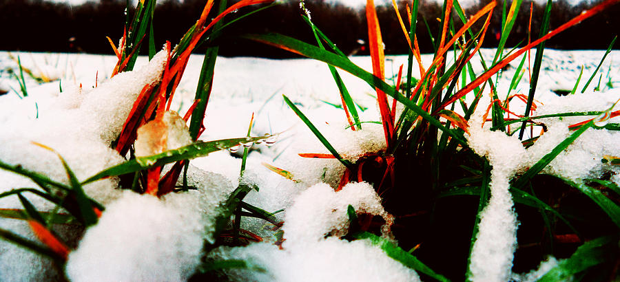 Contrast Photograph - Grass In Snow by Florin Birjoveanu