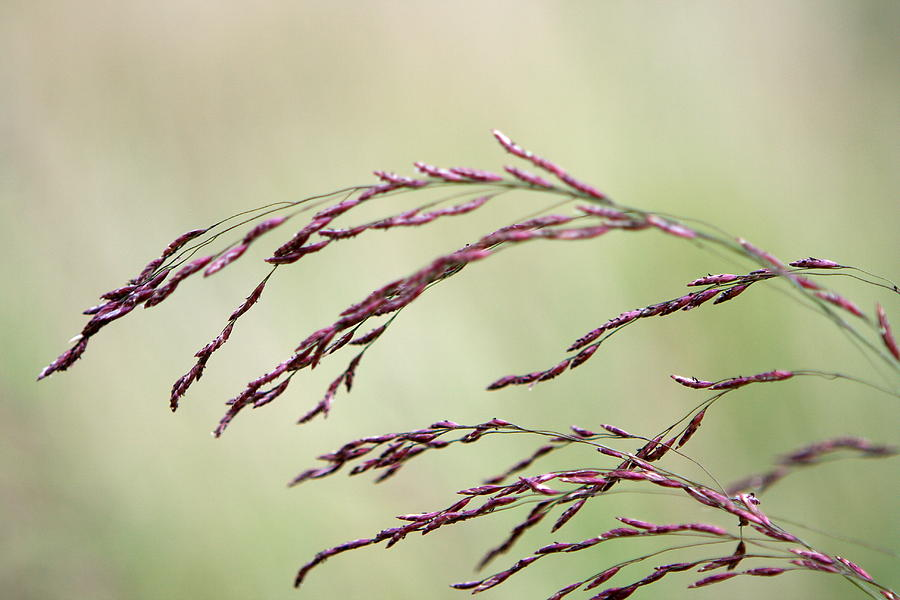 Grass Photograph - Grass Seed by Leeon Photo