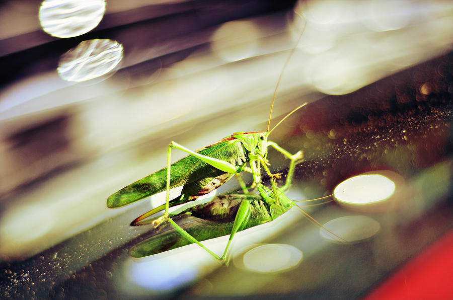 Grasshopper Photograph - Grasshopper Disco by Gynt