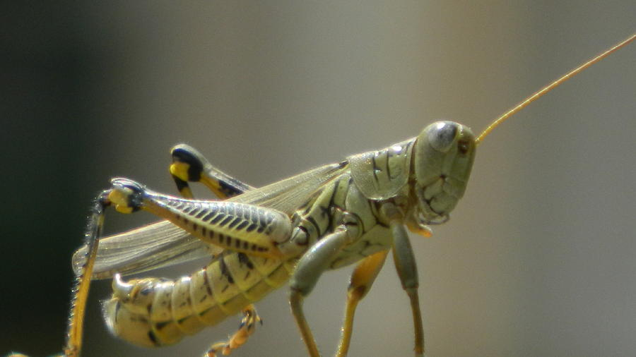 Insect Photograph - Grasshopper In Profile by David  Ortiz