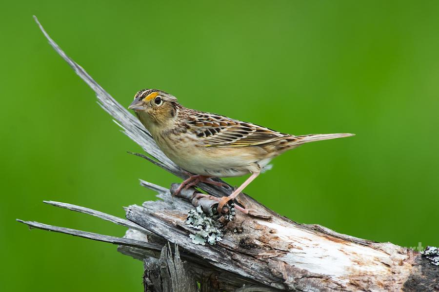 Grasshopper Sparrow Photograph