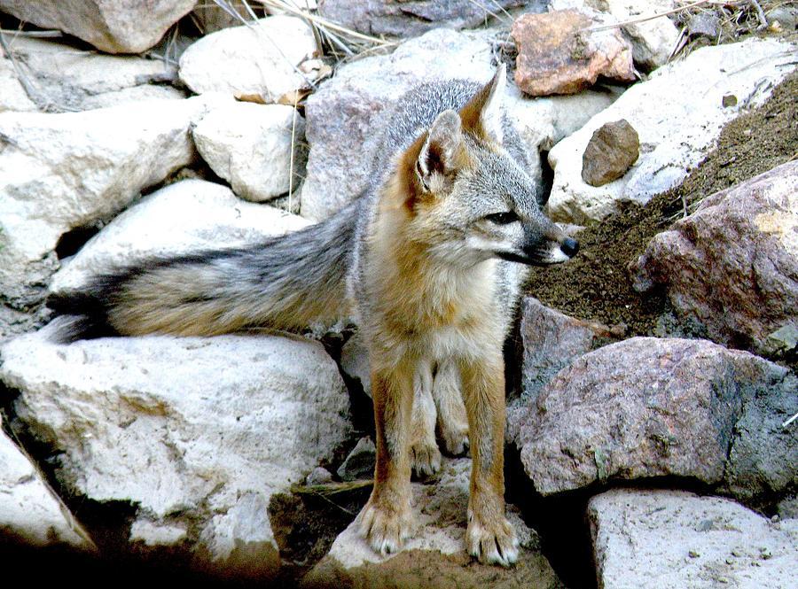 Fox Photograph - Gray Fox At The Oasis by Feva  Fotos