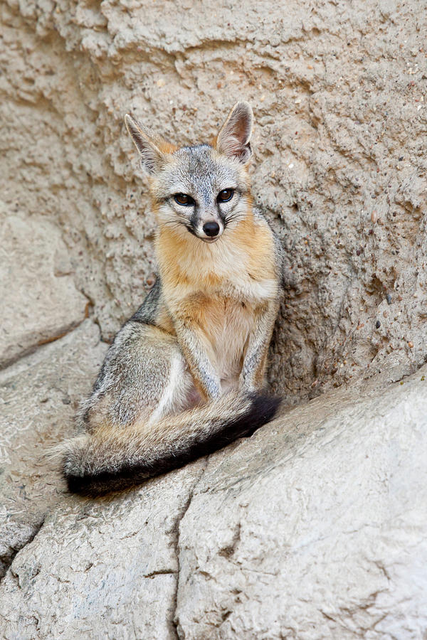 Fauna Photograph - Gray Fox (urocyon Cinereoargenteus by Larry Ditto