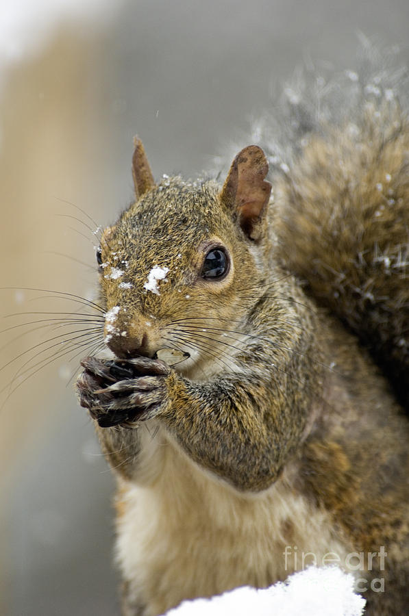 Eastern Photograph - Gray Squirrel - D008392  by Daniel Dempster