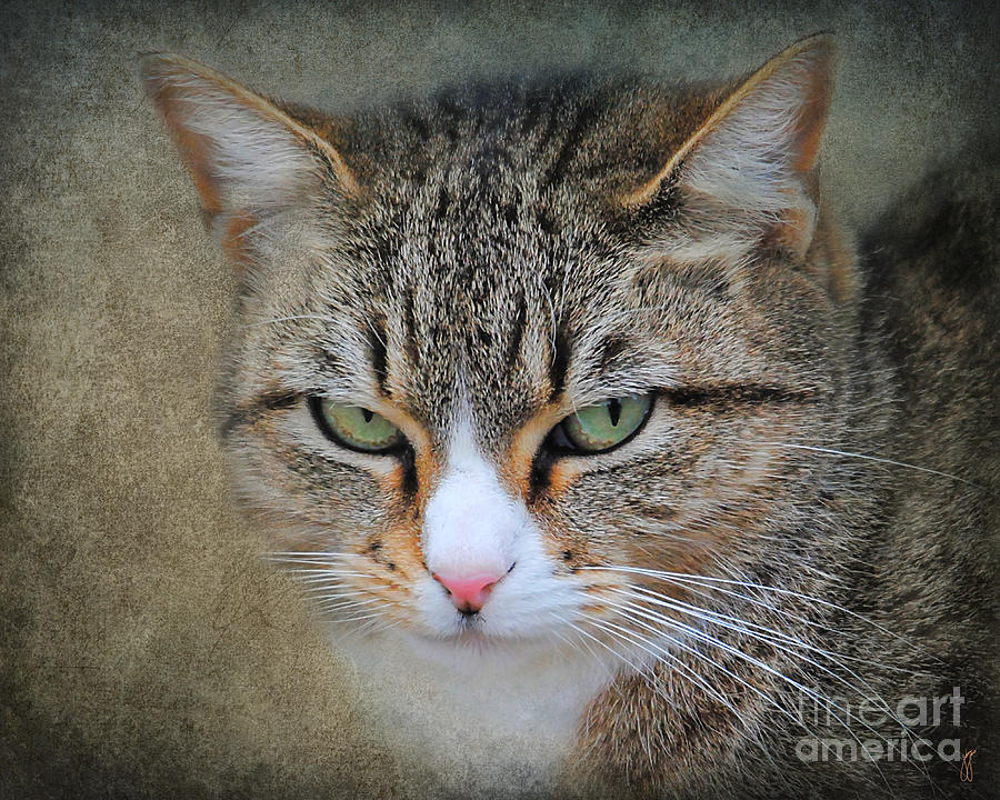 Bigly Photograph - Gray Tabby Cat by Jai Johnson