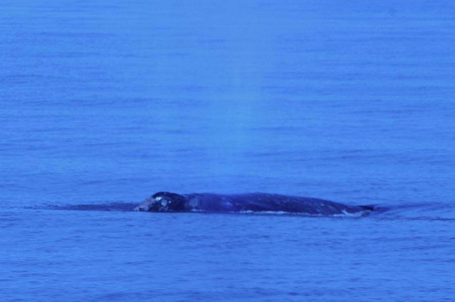 Whales  - Gray Whalle In Puget Sound  by Jeff Swan