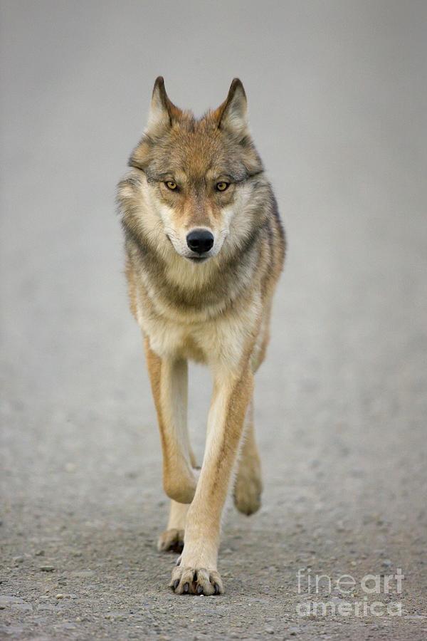 Mp Photograph - Gray Wolf Denali National Park Alaska by Yva Momatiuk John Eastcott