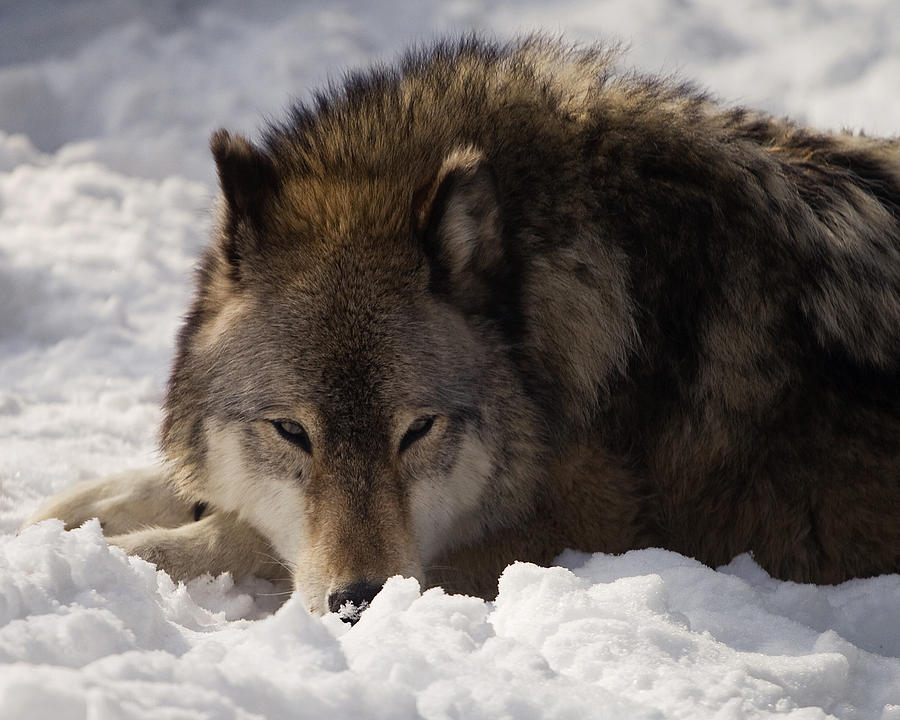Wolf Photograph - Gray Wolf In Snow by Stephanie McDowell