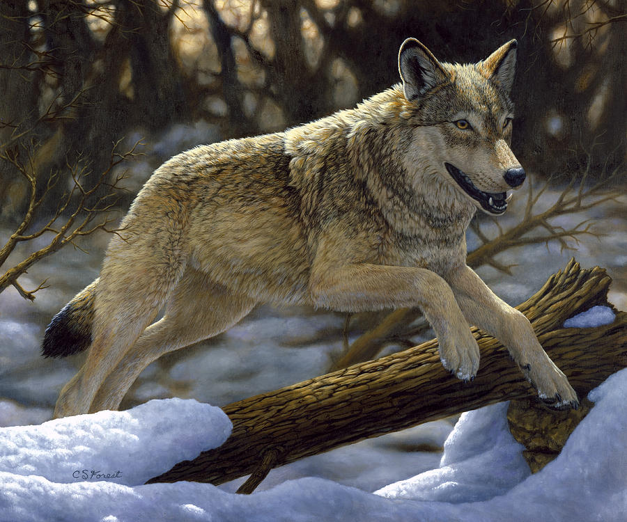Wolf Painting - Gray Wolf - Just For Fun by Crista Forest