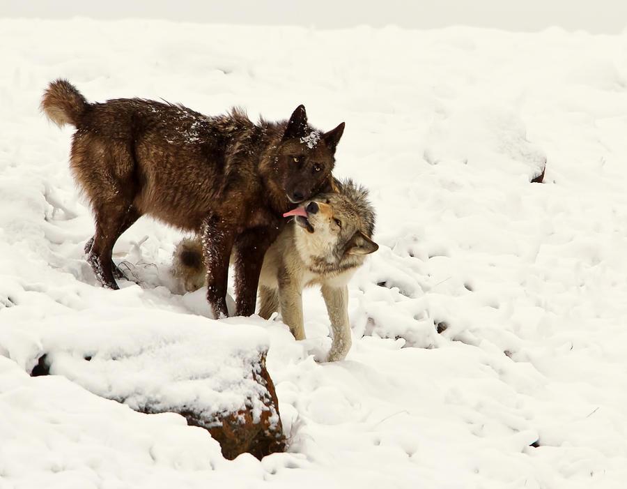 Ass she Art the lick wolf