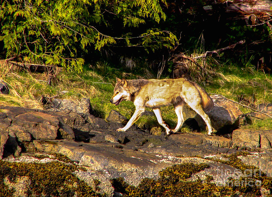Wolf Photograph - Gray Wolf by Robert Bales