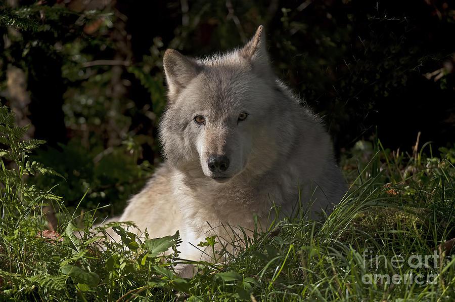 Gray Wolf Photograph