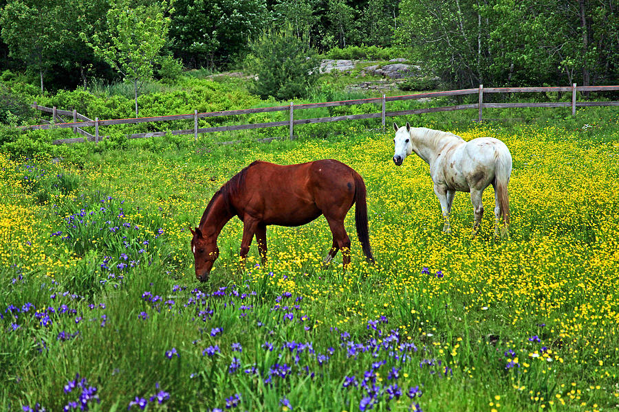 Horses Photograph - Grazing Amongst The Wildflowers by Karol Livote