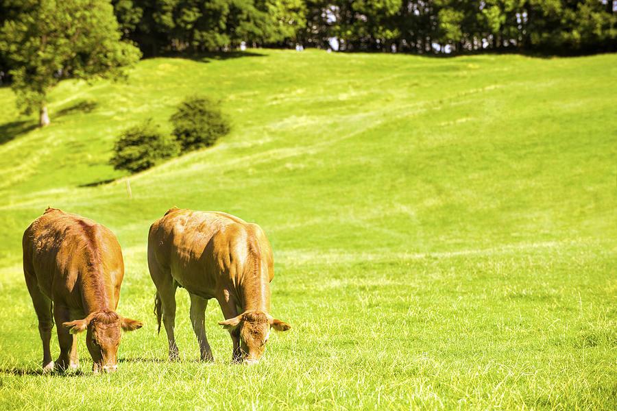 Grazing Photograph - Grazing Cows by Amanda Elwell