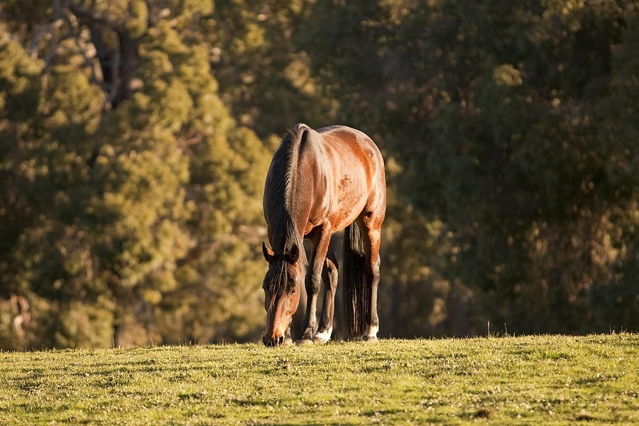 Horse Photograph - Grazing Horse At Sunset by Michelle Wrighton