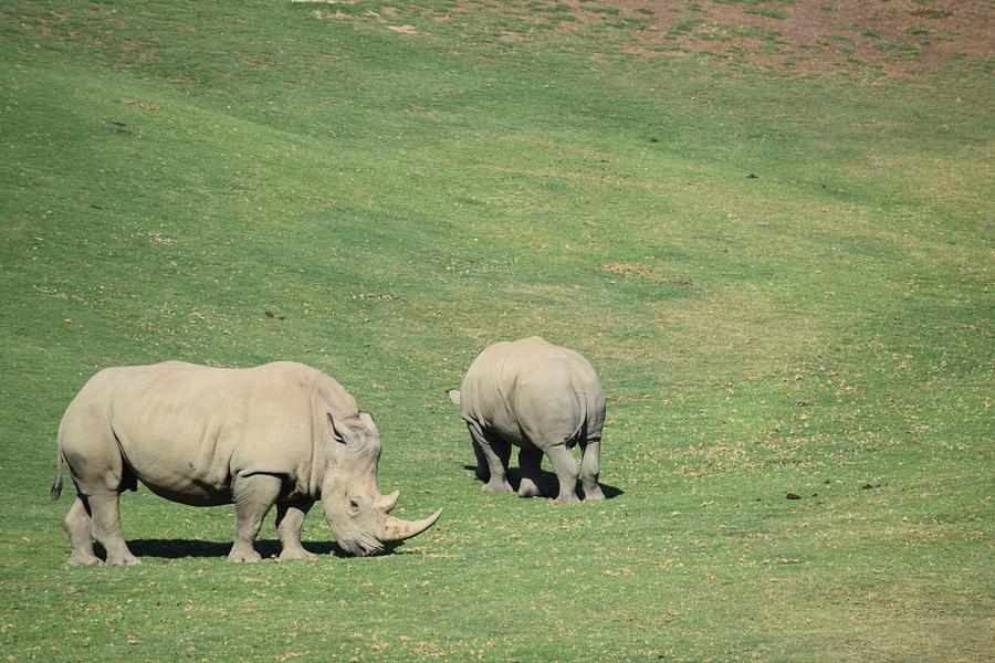 Grazing Rhinos Photograph