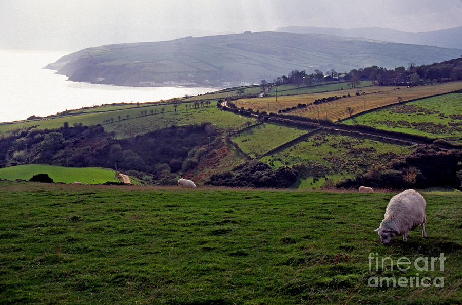 Grazing sheep county antrim northern ireland photograph by for Home decor northern ireland