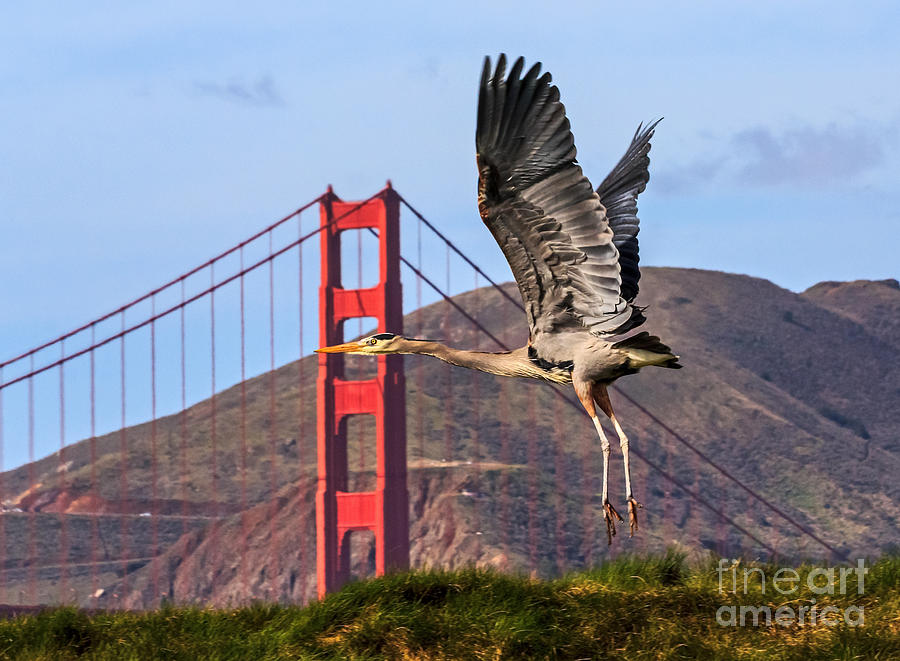 Great Blue At The Golden Gate Photograph