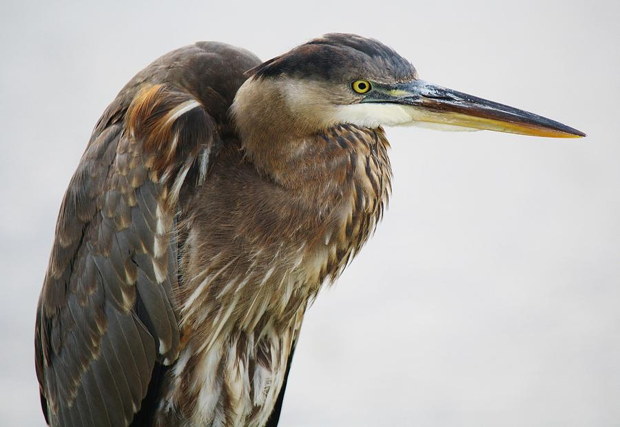 Great Blue Heron Photograph - Great Blue Heron - # 14 by Paulette Thomas