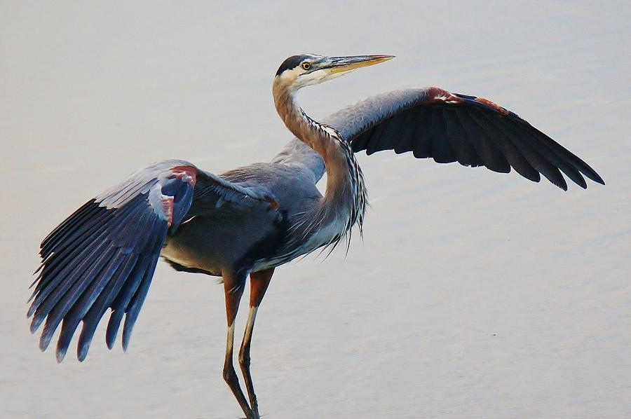 Great Blue Heron Photograph - Great Blue Heron - # 21 by Paulette Thomas