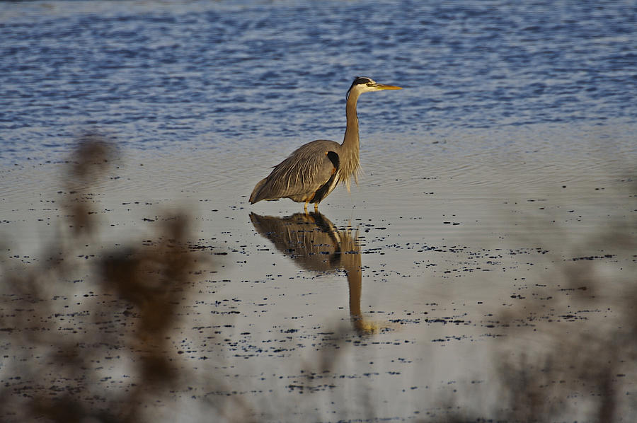 Animals Photograph - Great Blue Heron 1 by SC Heffner