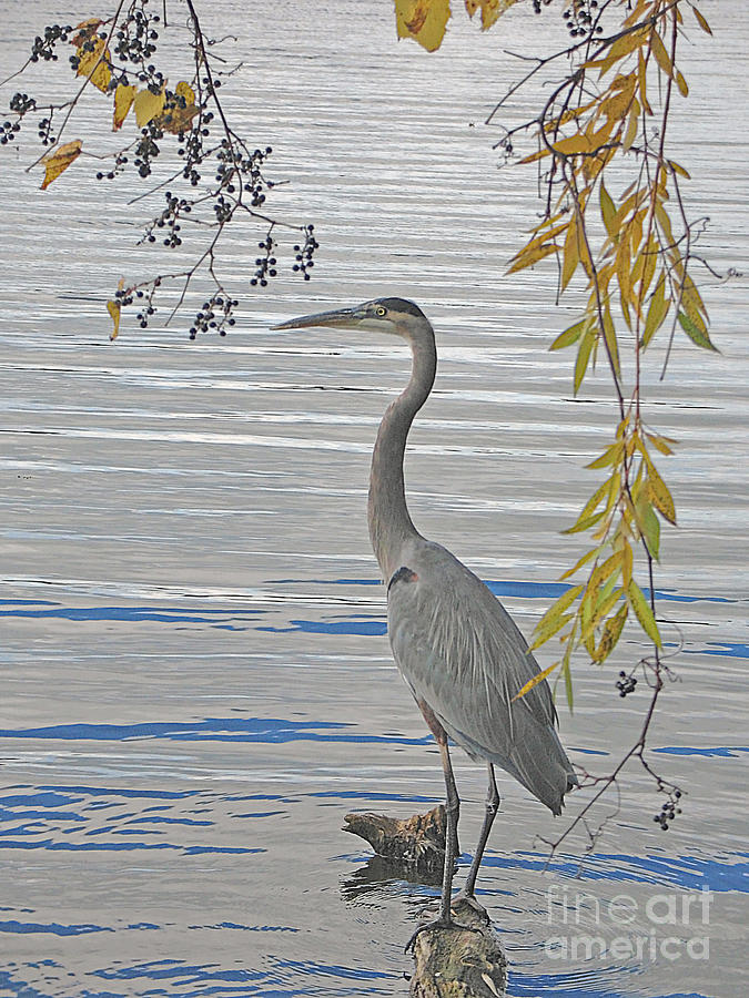 Heron Photograph - Great Blue Heron by Ann Horn