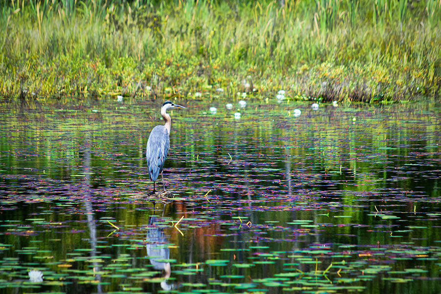 Canada Photograph - Great Blue Heron by Boss Photographic