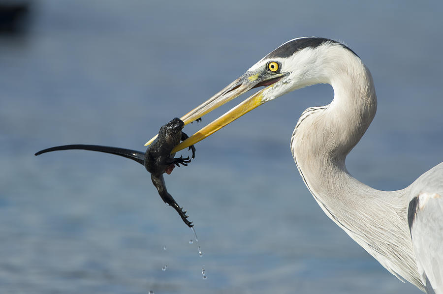 Great Blue Heron Catching Baby Marine Photograph by Tui De Roy