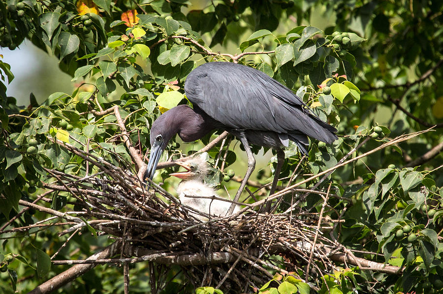 Great Blue Heron Chicks In Nest Photograph by Gregory Daley  MPSA
