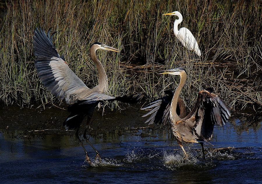 Egret Photograph - Great Blue Heron Courtship by Paulette Thomas
