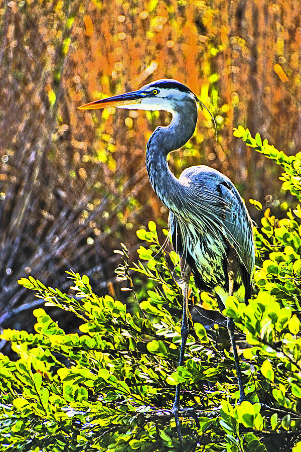 Florida Photograph - Great Blue Heron by Dennis Cox WorldViews
