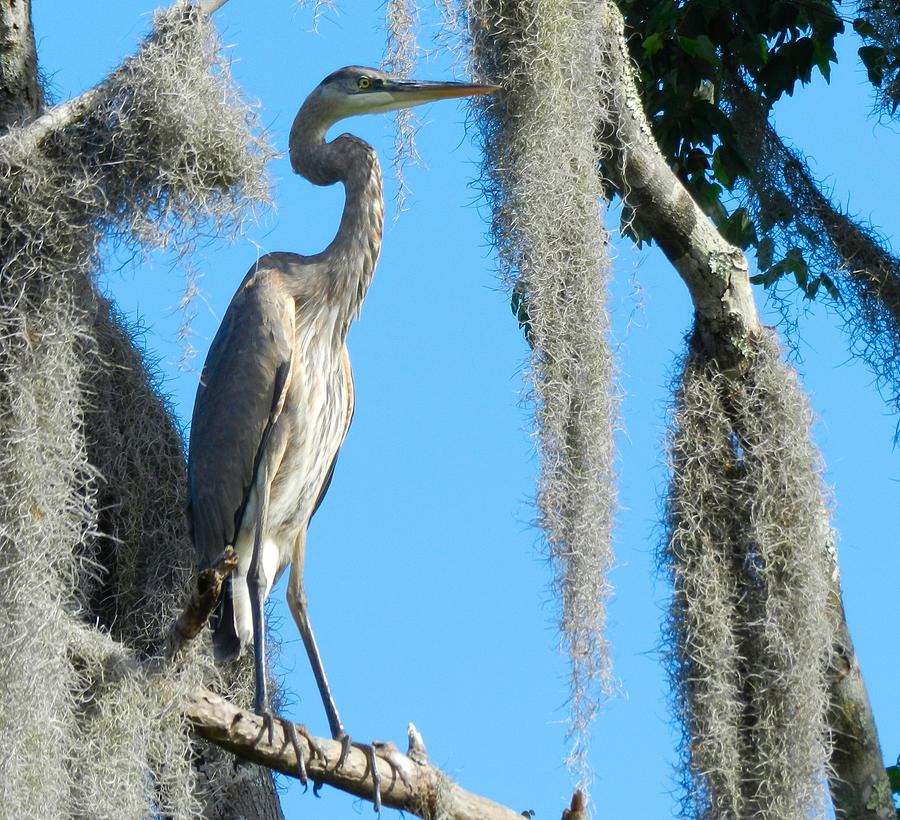 Great Blue Heron Photograph - Great Blue Heron by Don L Williams