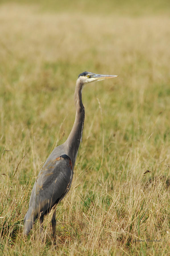 Great Blue Heron Photograph - Great Blue Heron by Donna Blackhall