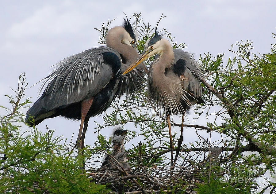 Birds Photograph - Great Blue Heron Family by Kathy Baccari
