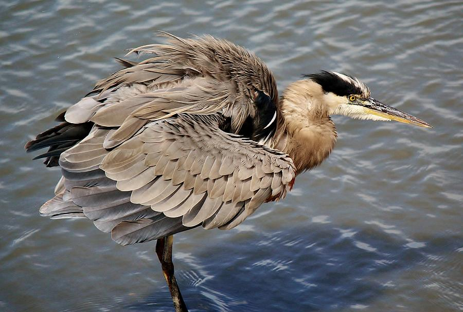 Great Blue Heron Photograph - Great Blue Heron Feathers - # 24 by Paulette Thomas