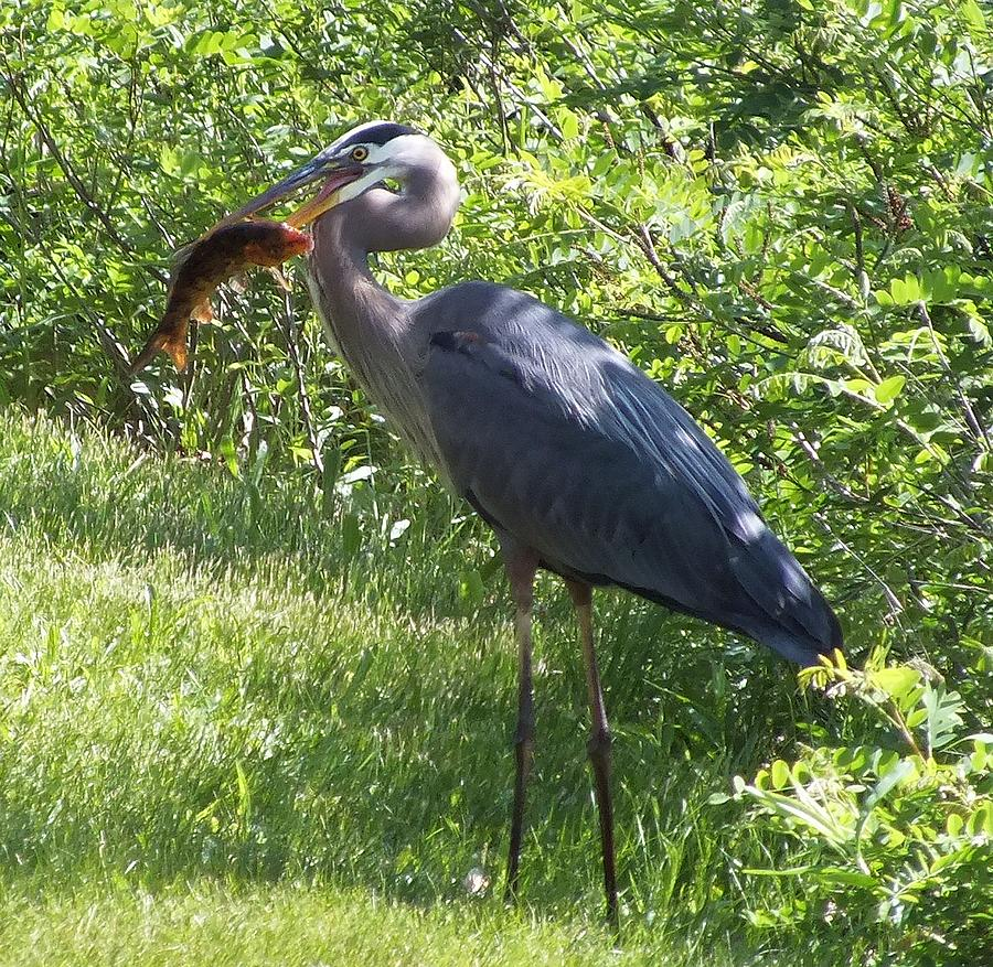 Great Blue Heron Photograph - Great Blue Heron Grabs A Meal by Christina Shaskus