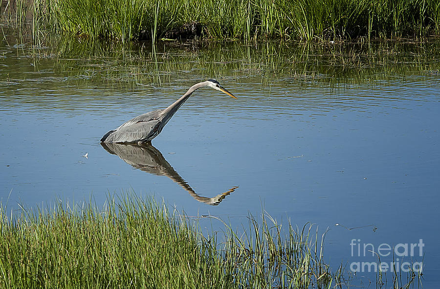 Nature Photograph - Great Blue Heron In Hayden Valley by Bob Dowling
