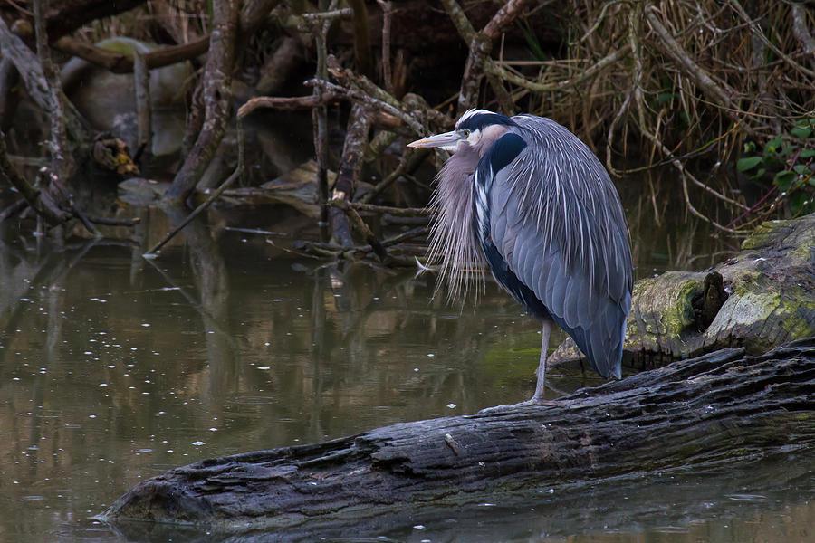 Bird Photograph - Great Blue Heron by Julie Jamieson