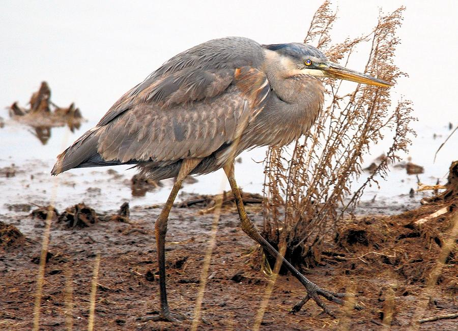 Water Photograph - Great Blue Heron by Linda  Barone