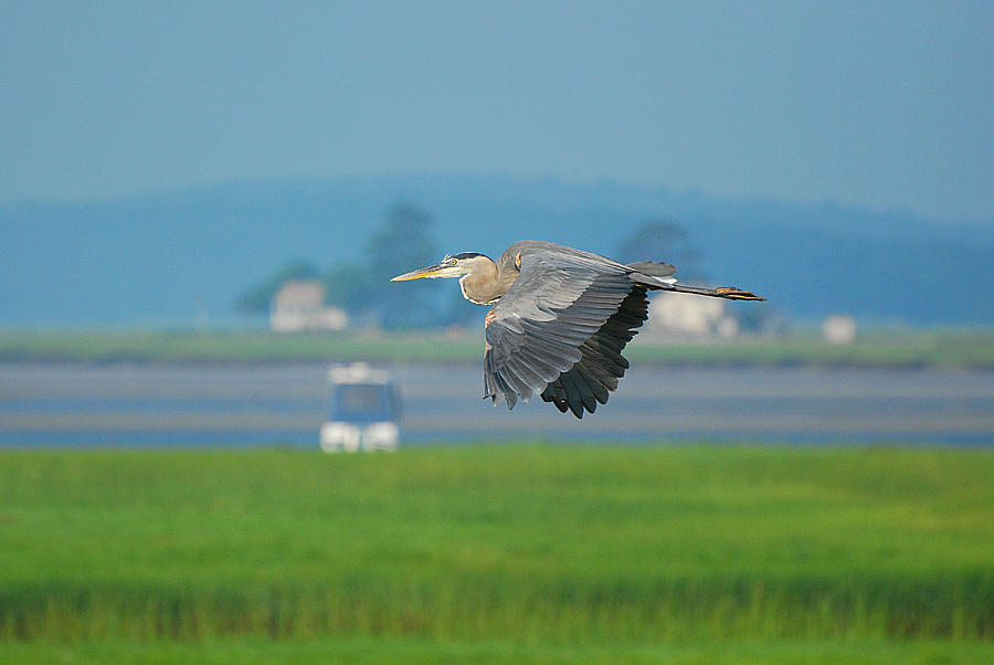 Great Blue Heron Photograph - Great Blue Heron by Nancy Landry